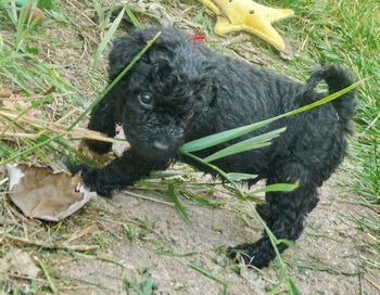 Puli puppy Canada