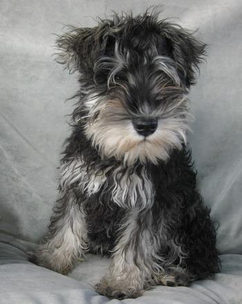 Miniature Schnauzer puppy Canada