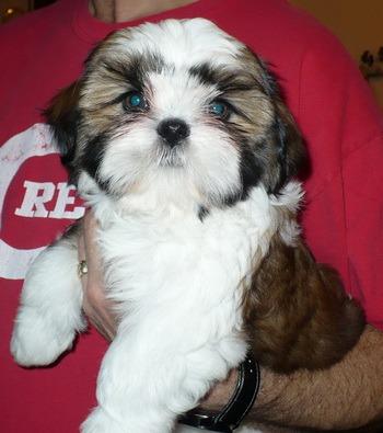 Shih Tzu puppy Canada