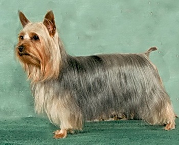 Silky Terrier Dogs In Canada Canadogs