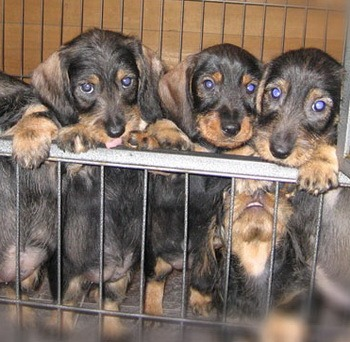 Standard Wire-haired Dachshund puppies Canada