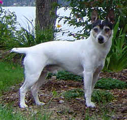 Tenterfield Terrier Adult Canada
