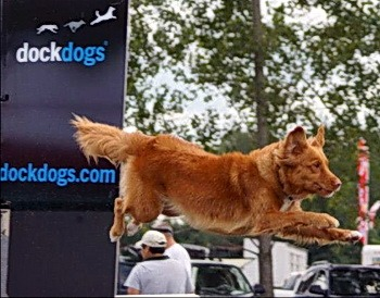 Nova Scotia Duck Tolling Retriever Adult Canada