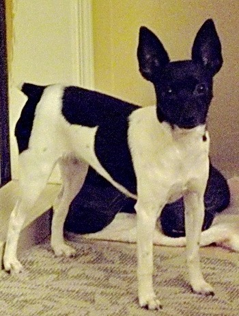 Toy Fox Terrier Adult Canada