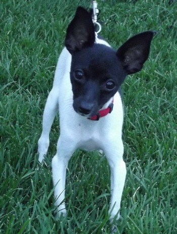 Toy Fox Terrier puppy Canada