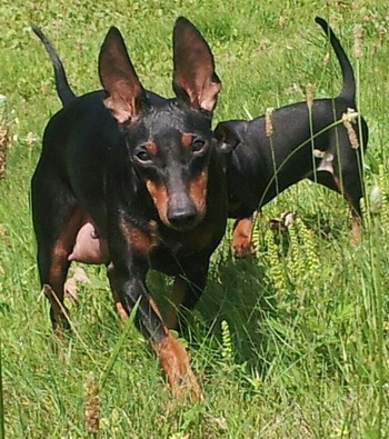 Toy Manchester Terrier Adult Canada