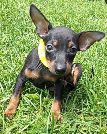 Toy Manchester Terrier puppy Canada