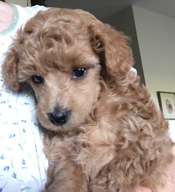 Toy Poodle Canada