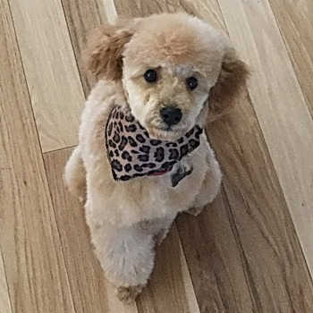 Toy Poodle Free To Good Home
