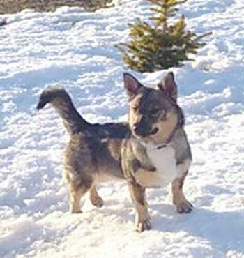 Swedish Vallhund Adult Canada