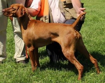 Vizsla (smooth) Adult Canada