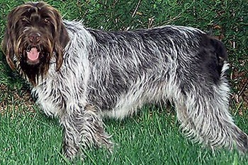 Wirehaired Pointing Griffon Adult Canada