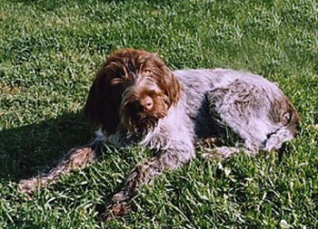 Wirehaired Pointing Griffon puppy Canada