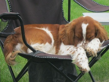 Welsh Springer Spaniel dogs in Canada - CanaDogs