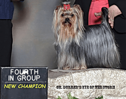 Yorkshire Terrier CanaDogs