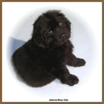 Newfoundland Dog puppy Canada