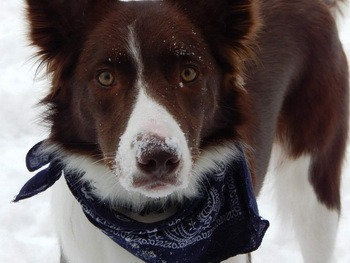 Border Collie adults Canada