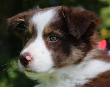 Border Collie mother and puppy Canada