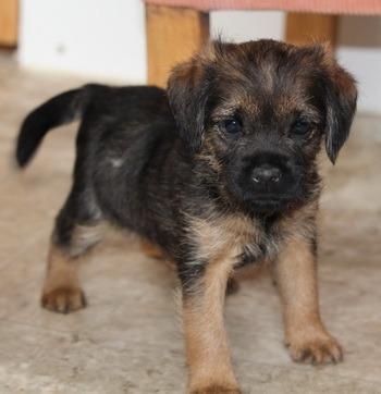 Border Terrier puppy Canada