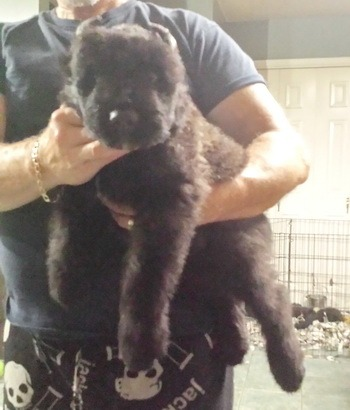 Bouvier des Flandres puppy Canada