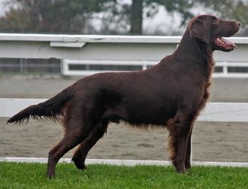 Flat-Coated Retriever puppy Canada