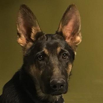 German Shepherd Adult Canada