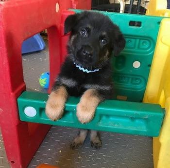 German Shepherd puppy Canada