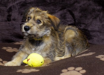 Berger Picard puppy Canada