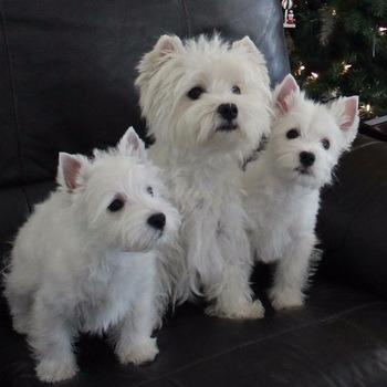 West Highland White Terrier Canada