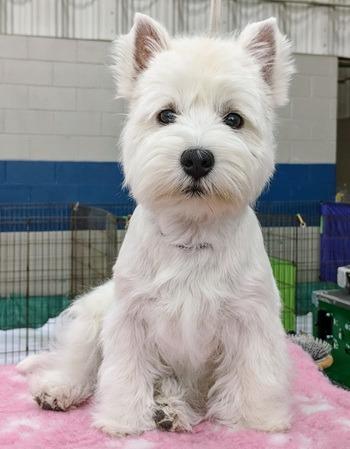 West Highland White Terrier puppy Canada
