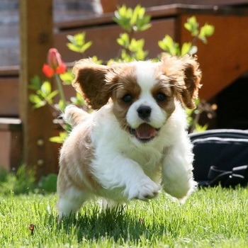 Cavalier King Charles Spaniel puppy CanaDogs