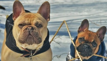 French Bulldog and puppy Canada