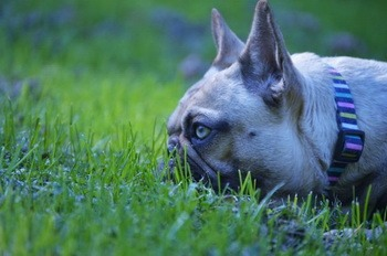 French Bulldog Adult Canada