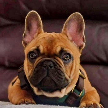 French Bulldog puppy Canada
