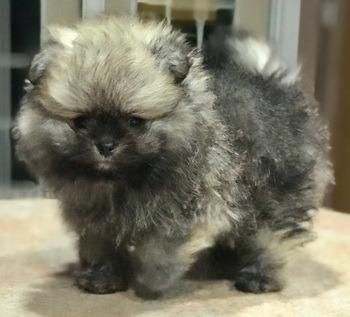 Pomeranian puppy Canada