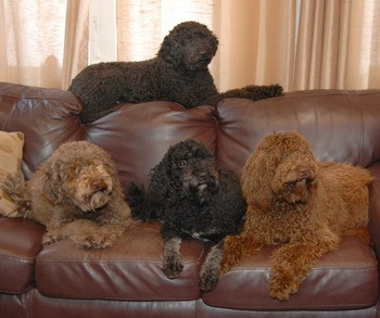 Barbet Adults CanaDogs