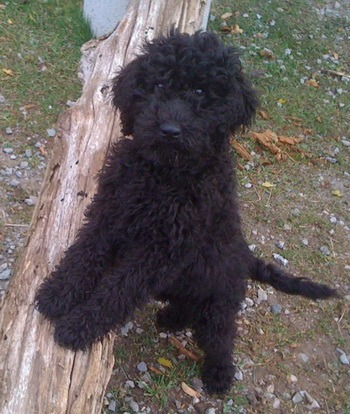 Barbet puppy Canada