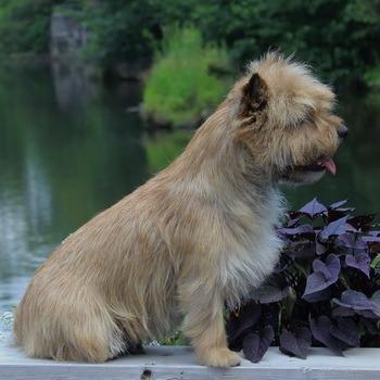 Cairn Terrier Canada