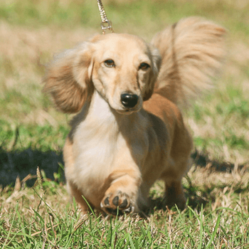 Miniature Long-haired Dachshund Adults Canada