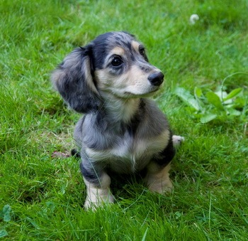 Miniature Long-haired Dachshund puppy Canada