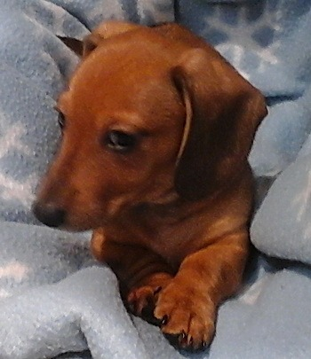 Miniature Smooth Dachshund puppy Canada