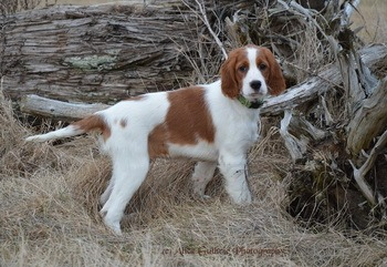 Irish Red and White Setter puppy Canada
