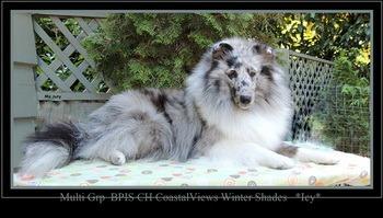 Shetland Sheepdog Adult Canada