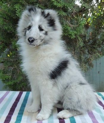 Shetland Sheepdog puppy Canada