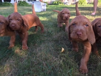 Vizsla (wire-haired) puppy Canada