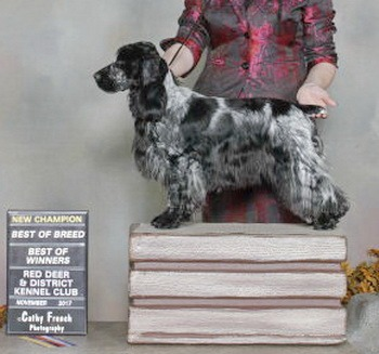 English Cocker Spaniel Adults Canada