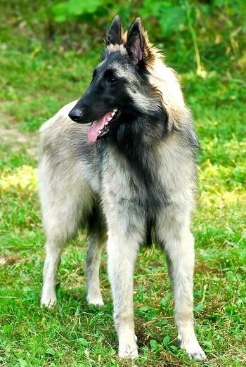 Belgian Shepherd Adult Canada
