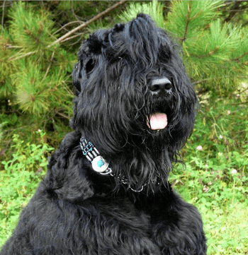 Black Russian Terrier CanaDogs