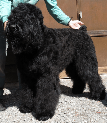 Black Russian Terrier Adult Canada