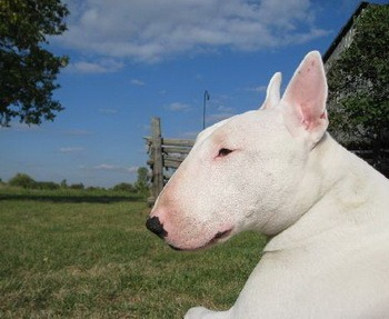 Bull Terrier Adult Canada
